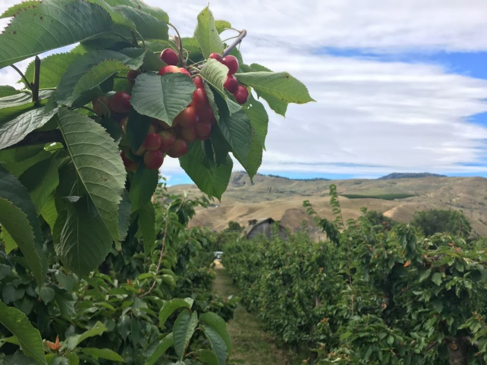 A branch loaded with cherries, looking over the golden hills of Eastern Washington.