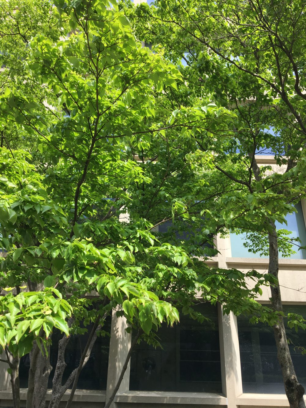 A very green, leafy tree outside Building 66. It is a sunny day and the blue sky is reflected in some of the building's windows.