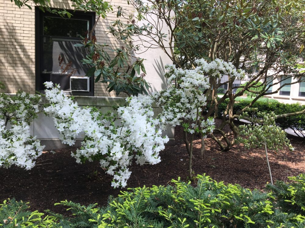 A short tree with a large number of white flowers outside East Campus. In the foreground, an evergreen bush has light green buds at the ends of its branches.