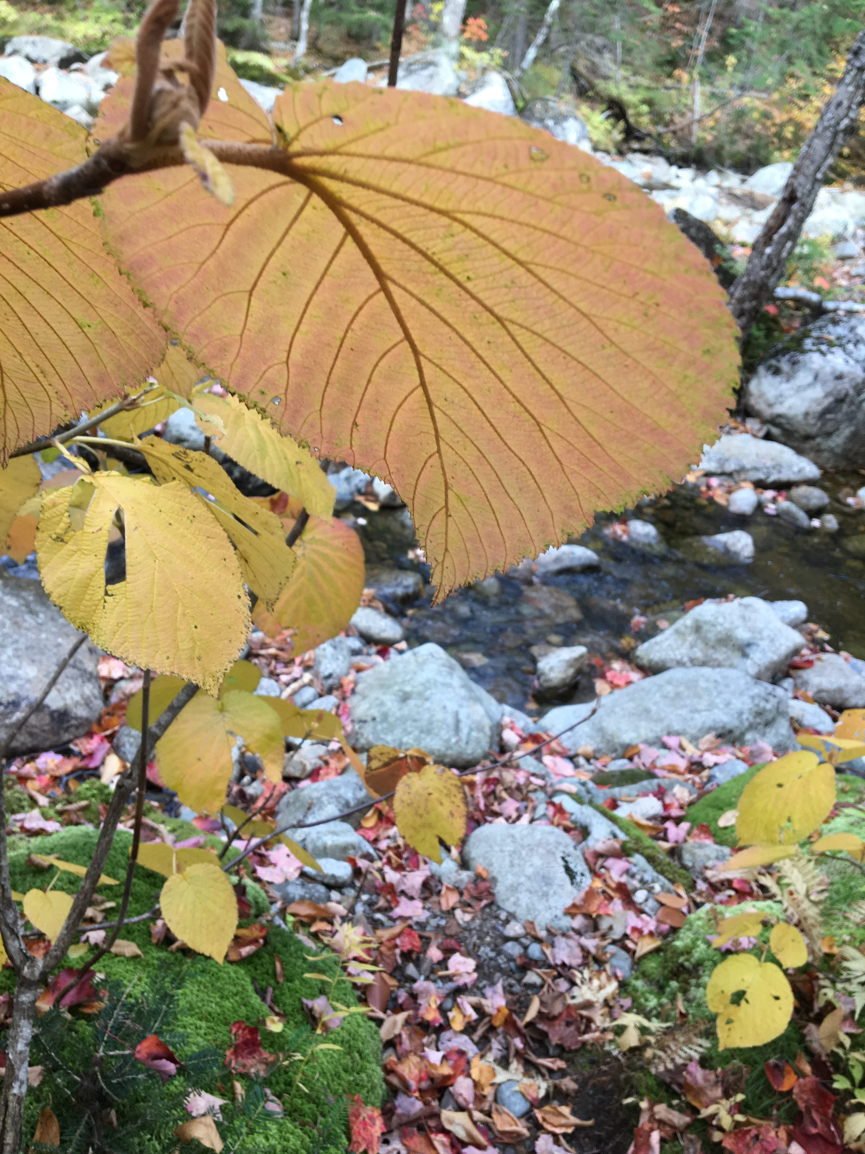 A closeup of a very large leaf, yellow with red tips and brown veins. In the background are more yellow leaves and a rocky stream.