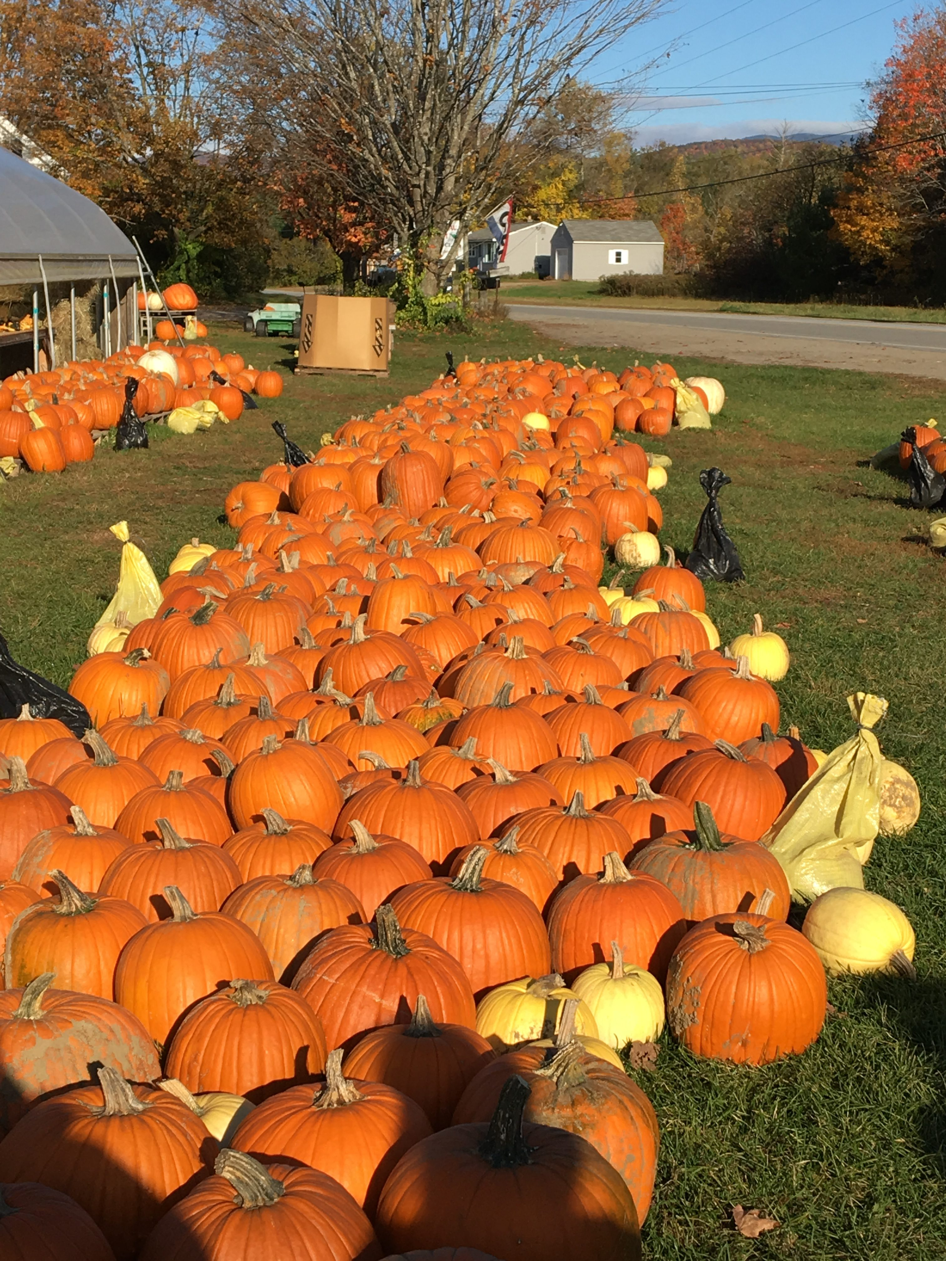 A very large group of bright orange pumpkins, on the grass at a roadside farm.