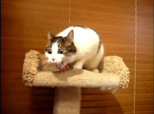 cat with mouth open on a cat platform