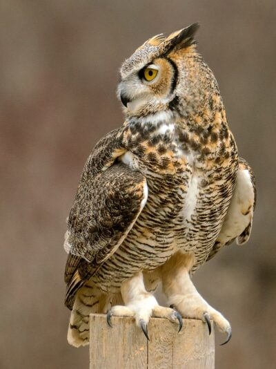 image of a horned owl with feathers on its feet