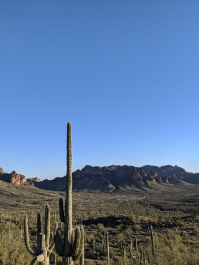 picture of a field full of saguaro cacti