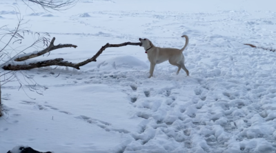 dog trying to pull giant branch out of frozen pond