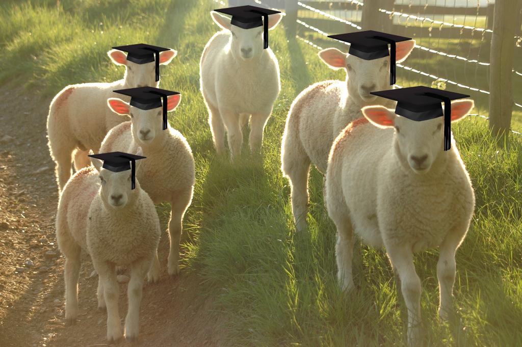 graduating sheep