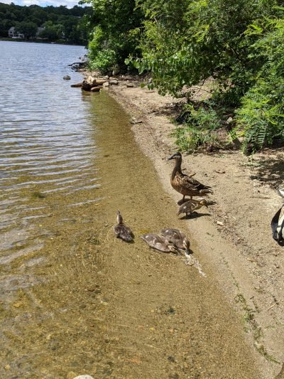 lake with a mother duck and 3 ducklings
