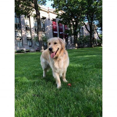 Golden retriever puppy, older